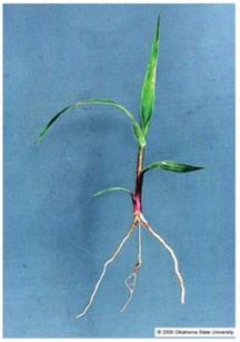 Evaluation Of Establishment Success Switchgrass